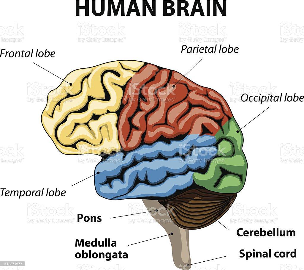 Ilustración de Cerebro Humano Anatomía y más banco de imágenes de ...