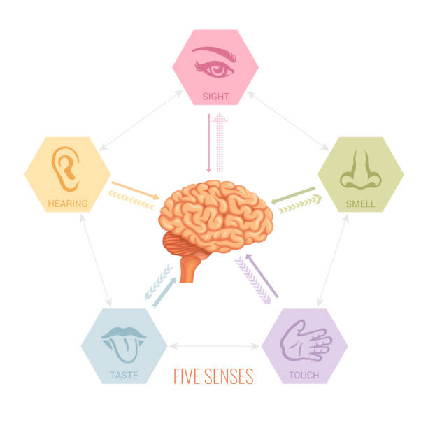 Human brain and five senses vector. Human brain and five senses vector. sensory perception stock illustrations