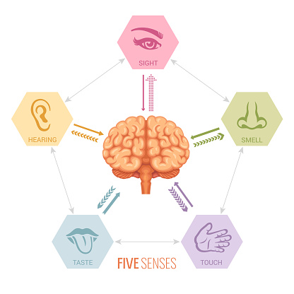 Human Brain And Sensory Perception