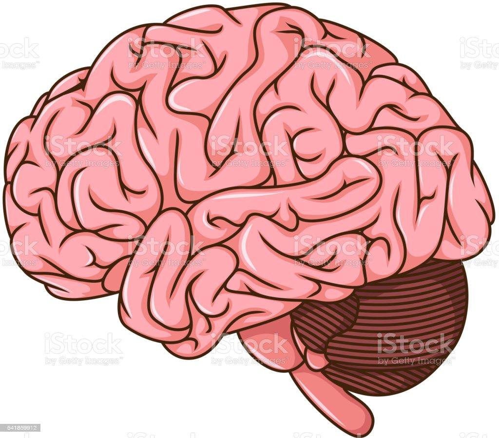 Ilustración de Cerebro Humano Dibujo y más banco de imágenes de ...