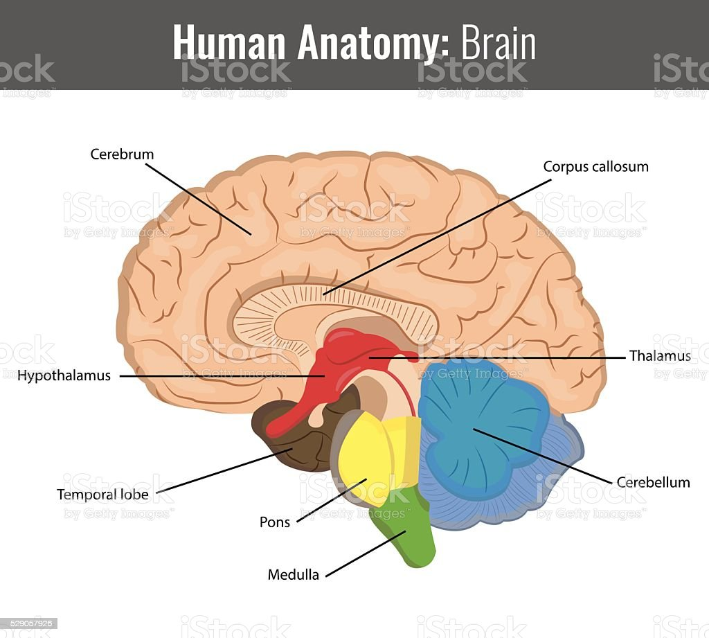 Human Brain Detailed Anatomy Vector Medical Stock Vector Art & More ...
