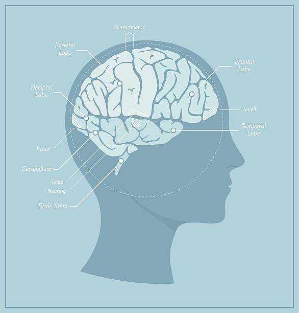 Human Brain Diagram A detailed diagram of a human brain with different zones and key functions labelled. medical diagrams stock illustrations