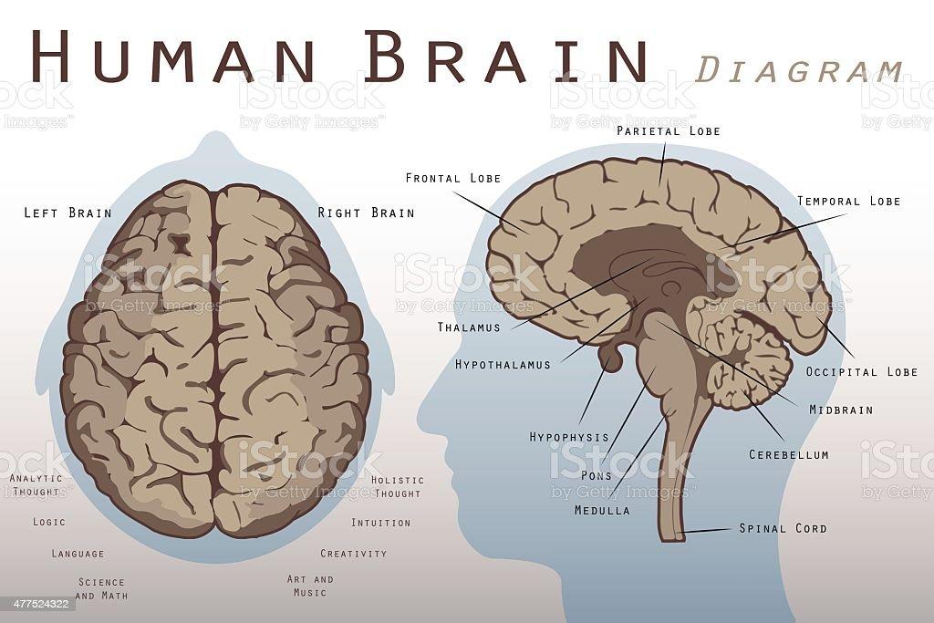 Ilustración de Cerebro Humano Diagrama y más banco de imágenes de ...