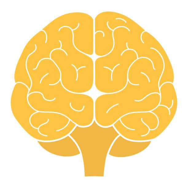 ilustraciones, imágenes clip art, dibujos animados e iconos de stock de visión frontal del cerebro humano. ilustración vectorial. diseño plano - brain