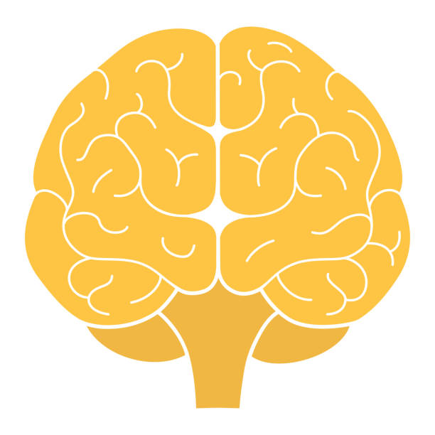 Human brain front view. Vector illustration. Flat design Human brain front view. Vector illustration. Flat design front view stock illustrations