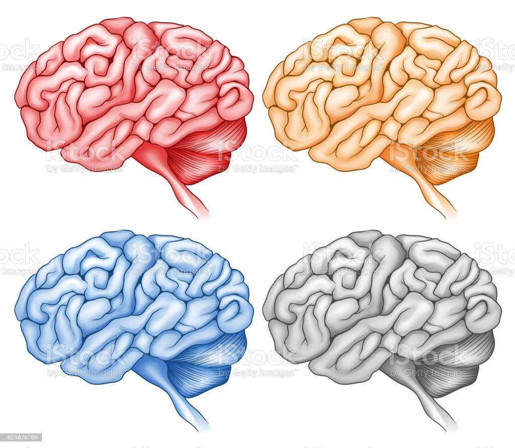 Ilustración de Cerebro Humano En Cuatro Colores y más banco de ...