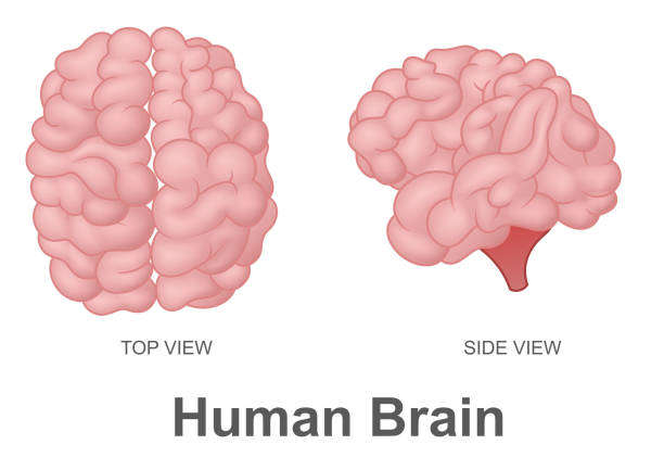 Human Brain in Top View and Side View vector art illustration