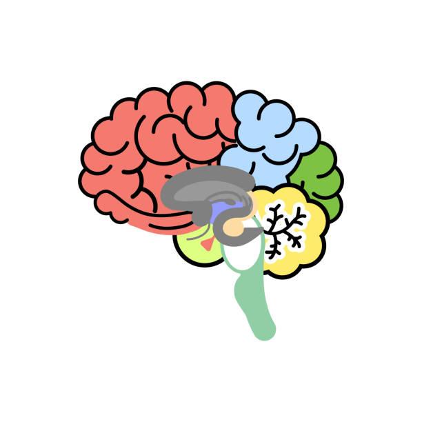 human brain, internal organs anatomy body part nervous system human brain, internal organs anatomy body part nervous system, vector illustration cartoon flat character design clip art corpus callosum stock illustrations