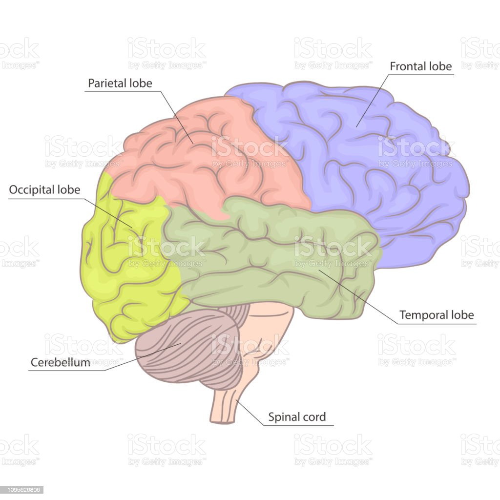Human Brain Organ Parts Anatomy Diagram Colorful Design Side View Vector Stock Illustration Download Image Now Istock