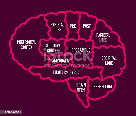 Vector Illustration of a useful Diagram with the Human Brain Sections with names
