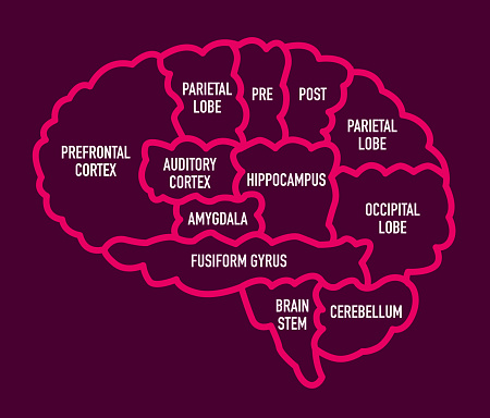 Human Brain Section Diagram With Names Stock Illustration - Download Image Now