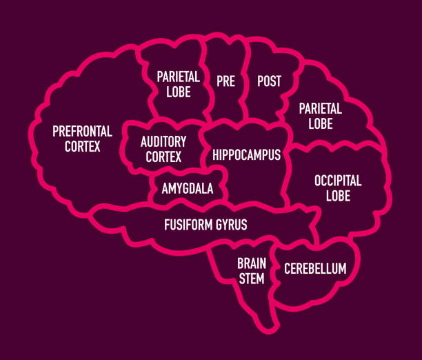 Human Brain Section Diagram with Names Vector Illustration of a useful Diagram with the Human Brain Sections with names hippocampus brain stock illustrations