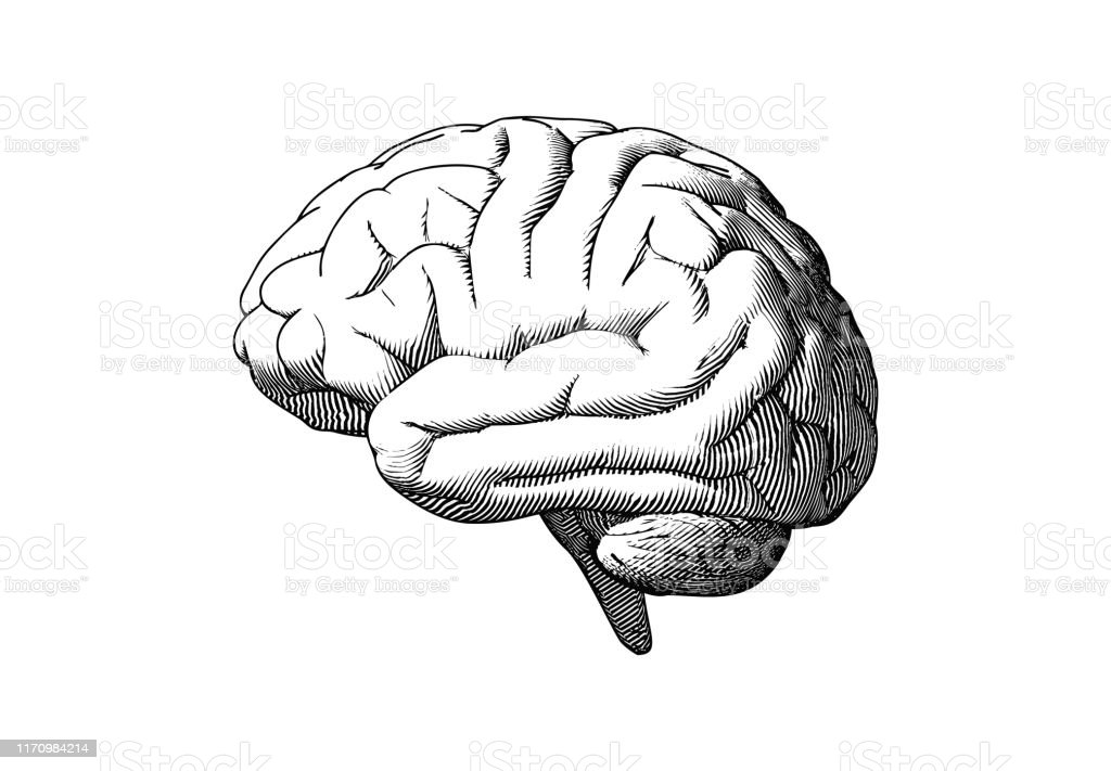흰색 BG에 인간의 뇌 측면보기 그리기 그림 - 로열티 프리 개념 벡터 아트