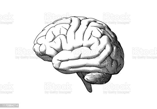 흰색 Bg에 인간의 뇌 측면보기 그리기 그림 개념에 대한 스톡 벡터 아트 및 기타 이미지