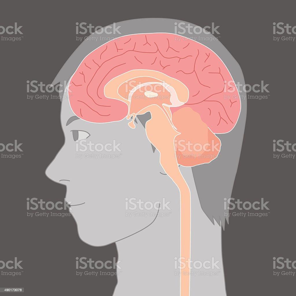 Human Brain Structure Image Illustration Stock ...