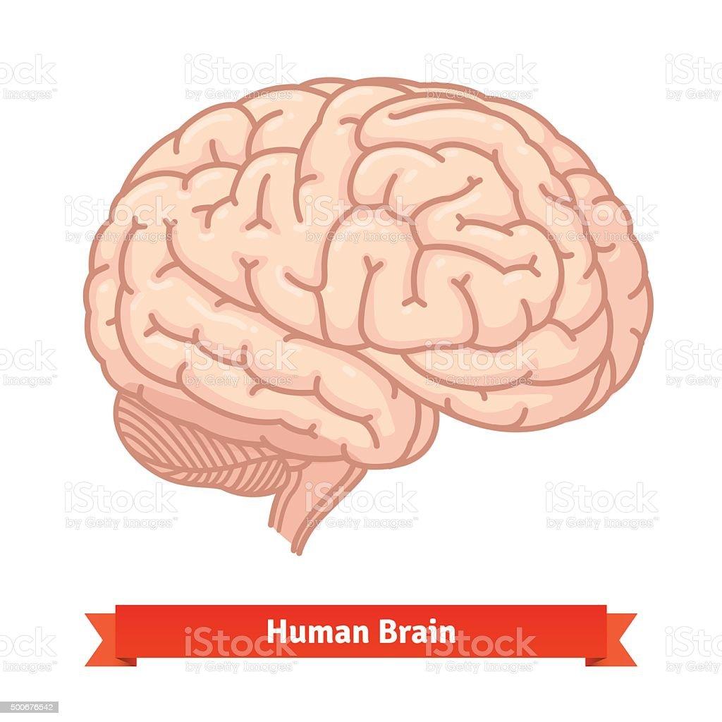 Human brain. Three-quarter view vector art illustration