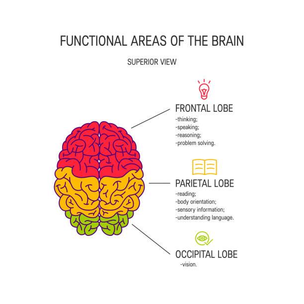 Human brain vector concept Functional areas of the brain, vector illustration parietal lobe stock illustrations