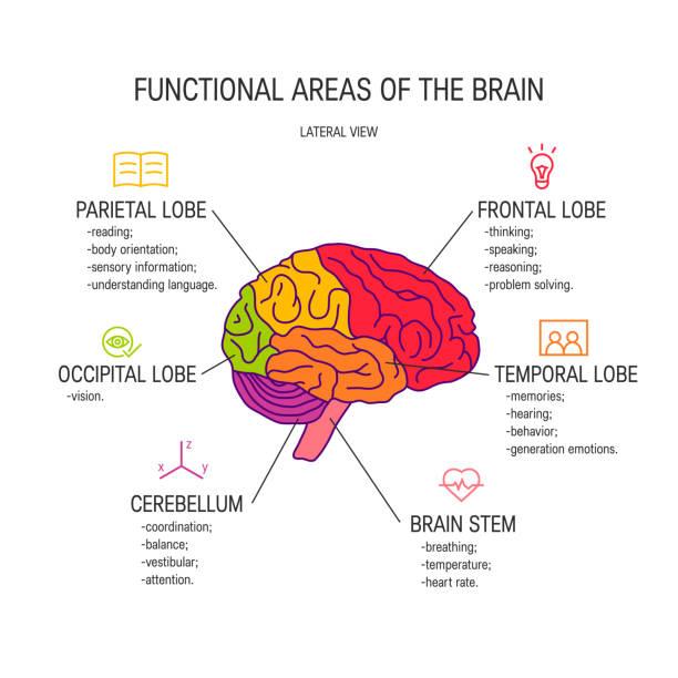 Human brain vector concept Functional areas of the brain, vector illustration occipital lobe stock illustrations