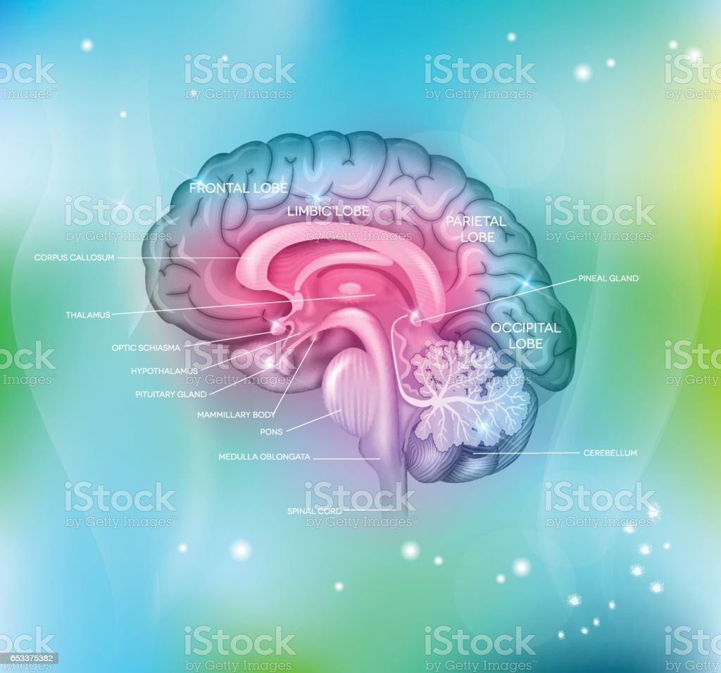 Human brain Human brain on a abstract light blue background, detailed colorful illustration. Abstract stock vector