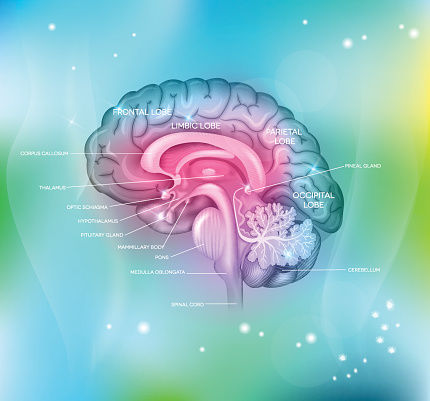 Human Brain Stock Illustration - Download Image Now