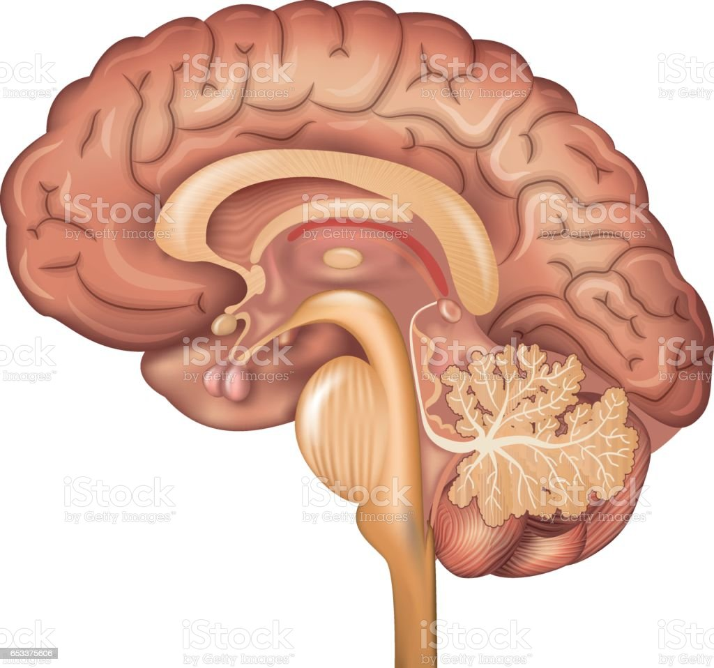 Human Gehirn Stock Vektor Art und mehr Bilder von Anatomie 653375606 ...