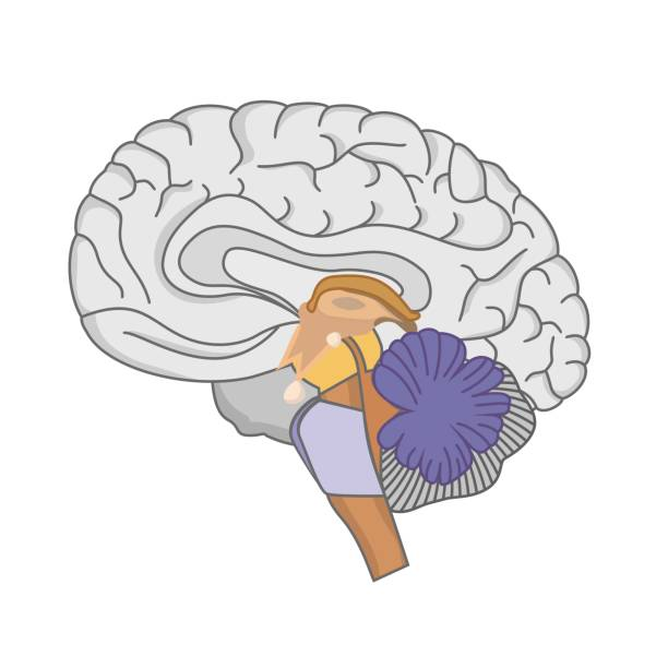 human gehirn  - sensorischer impuls stock-grafiken, -clipart, -cartoons und -symbole