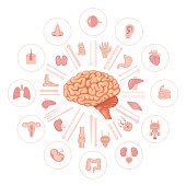 Human brain vector. Internal organs.