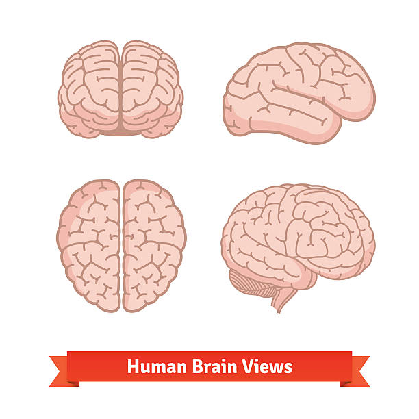 Human brain views. Top, frontal, side. Human brain views. Top, frontal and side view, three-quarter. Flat vector icons. brain stock illustrations