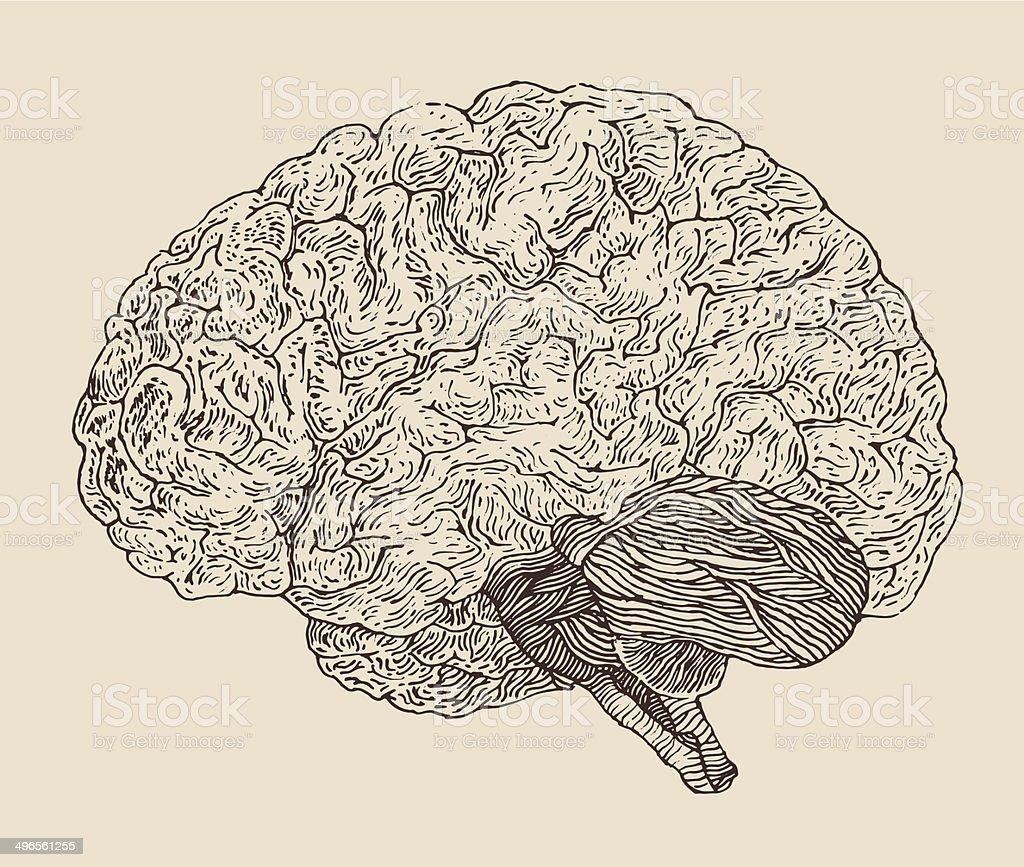 Human brain vintage illustration, engraved retro style, hand drawn royalty-free human brain vintage illustration engraved retro style hand drawn stock illustration - download image now
