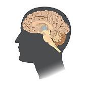 Human Brain white isolate. Anatomy body infographic. Illustration.