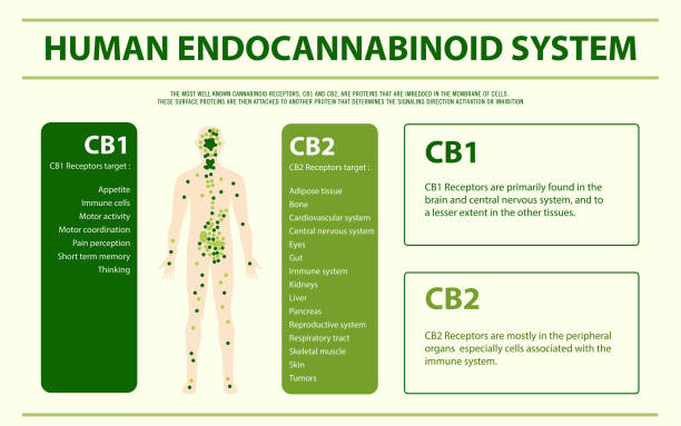 Human cannabinoid system horizontal infographic Human cannabinoid system horizontal infographic, healthcare and medical illustration about cannabis receptor stock illustrations