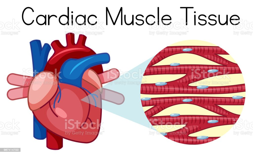A Human Cardiac Muscle Tissue Stock Vector Art & More Images of ...