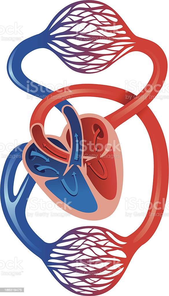 Human Cardiovascular System Stock Vector Art More Images Of