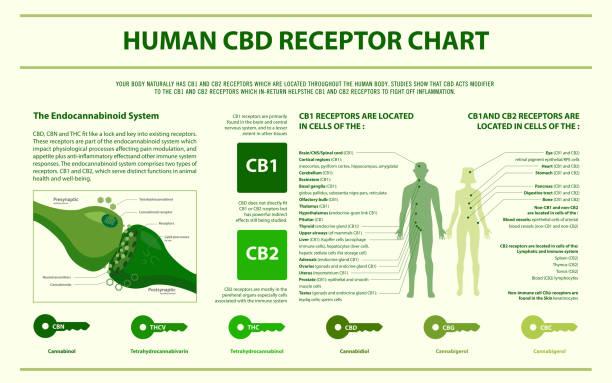 Human CBD receptor chart horizontal infographic Human CBD receptor chart horizontal infographic, healthcare and medical illustration about cannabis receptor stock illustrations
