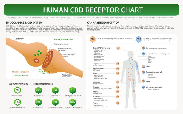 Human CBD Receptor Chart horizontal textbook infographic Human CBD Receptor Chart horizontal textbook infographic illustration about cannabis as herbal alternative medicine and chemical therapy, healthcare and medical science vector. receptor stock illustrations