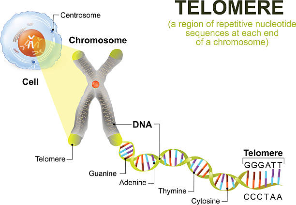 Human cell, chromosome and telomere A telomere is a repeating sequence of double-stranded DNA located at the ends of chromosomes. Each time a cell divides, the telomeres become shorter. Eventually, the telomeres become so short that the cell can no longer divide. chromosome stock illustrations