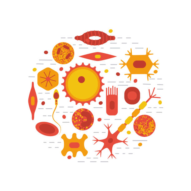 human cell type set Different human cell types icon set. Stock vector illustration of bone, nerve, epithelial, muscle, blood, stem, sperm and oocyte. Medicine and biology collection white blood cell stock illustrations