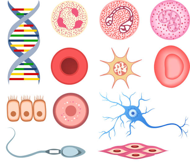 Human Cells DNA bone cell neuron neural nerve sperm ovum vector art illustration