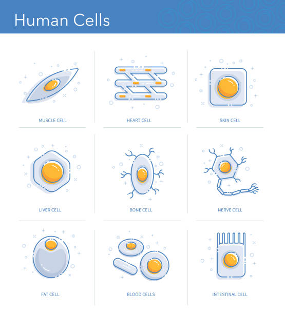 Human Cells Icons Set Trendy icons representing different human cells types. adipose cell stock illustrations