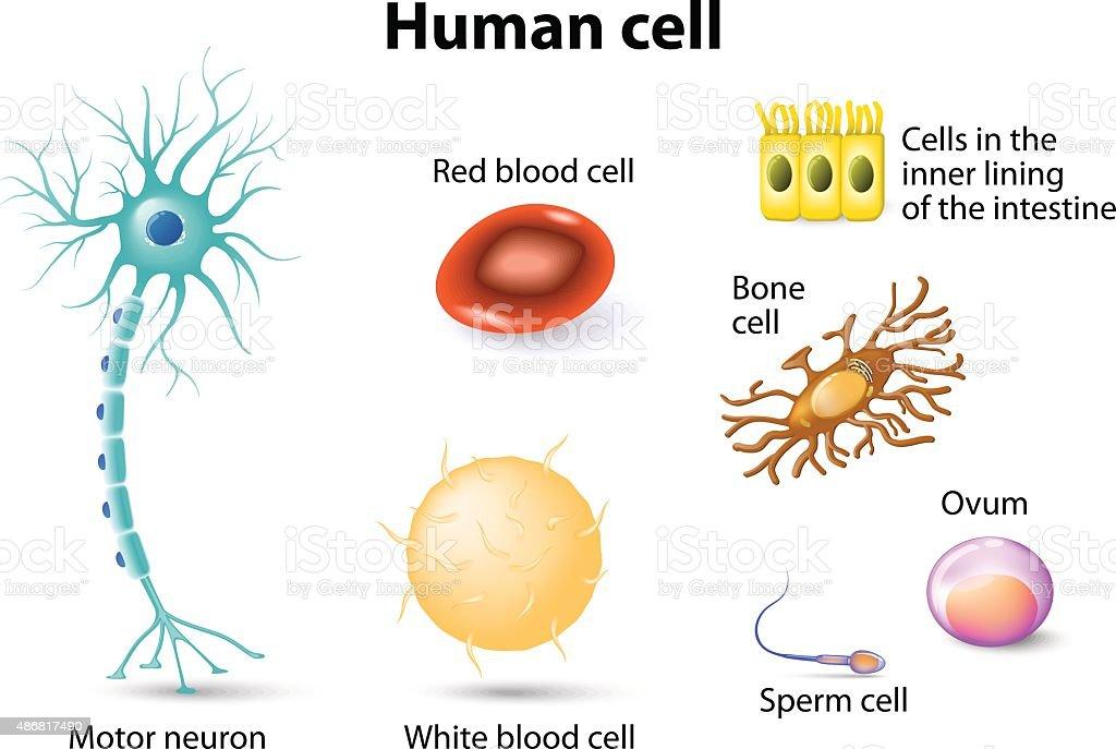 human cells vector art illustration