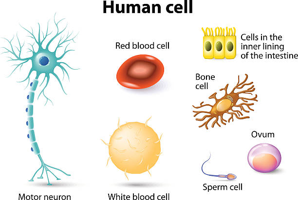 human cells human anatomy. Motor neuron, Red blood cell and White blood cell, bone cell, sperm cell and ovum, cells in the inner lining of the intestine. Set epithelium stock illustrations
