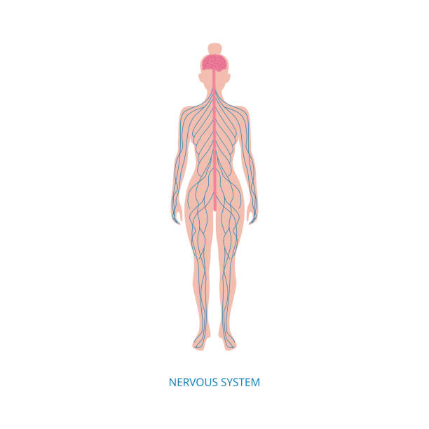 Human central nervous system infographic element vector illustration isolated. Human central nervous system infographic element vector illustration isolated on white background. Anatomical medical image of female body with nerve endings. sciatic nerve stock illustrations