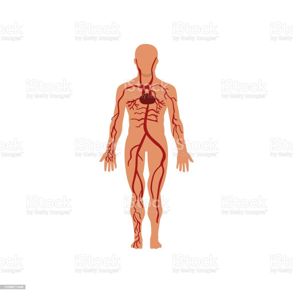 Human Circulatory System Anatomy Of Human Body Vector Illustration