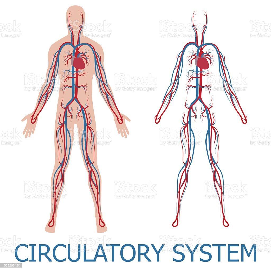 Menschlicher Kreislauf Stock Vektor Art und mehr Bilder von Anatomie ...