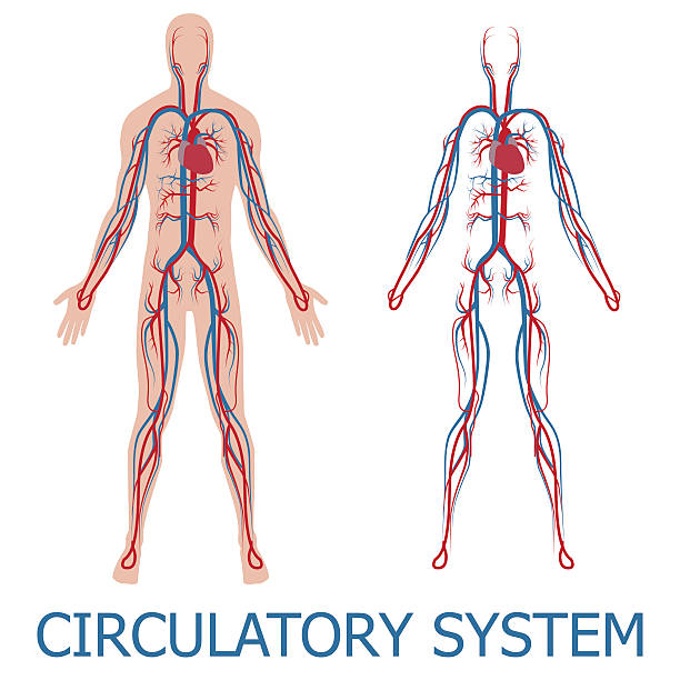 human circulatory system vector art illustration