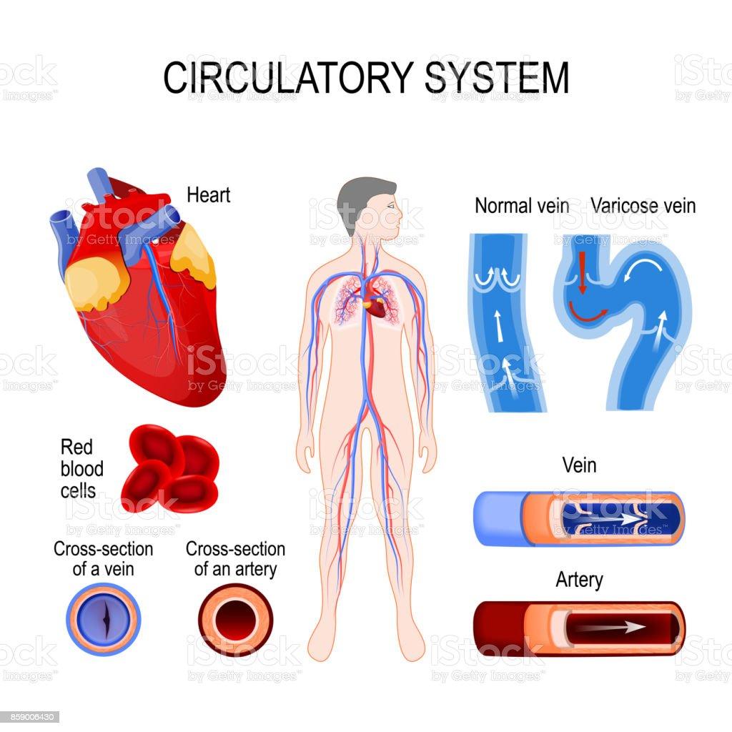 Ilustración de Human Sistema Circulatorio y más banco de imágenes de ...