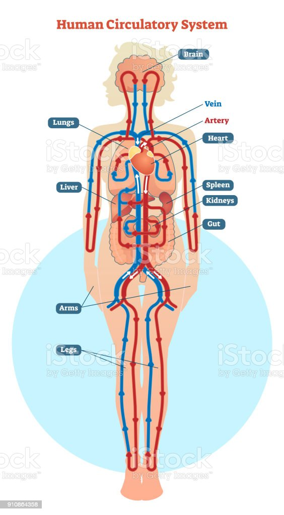 Human Circulatory System Vector Illustration Diagram Blood