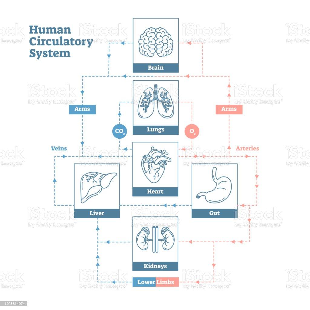Human Circulatory System vector illustration diagram poster, blood vessels scheme. Clean outline style medical infographic. vector art illustration