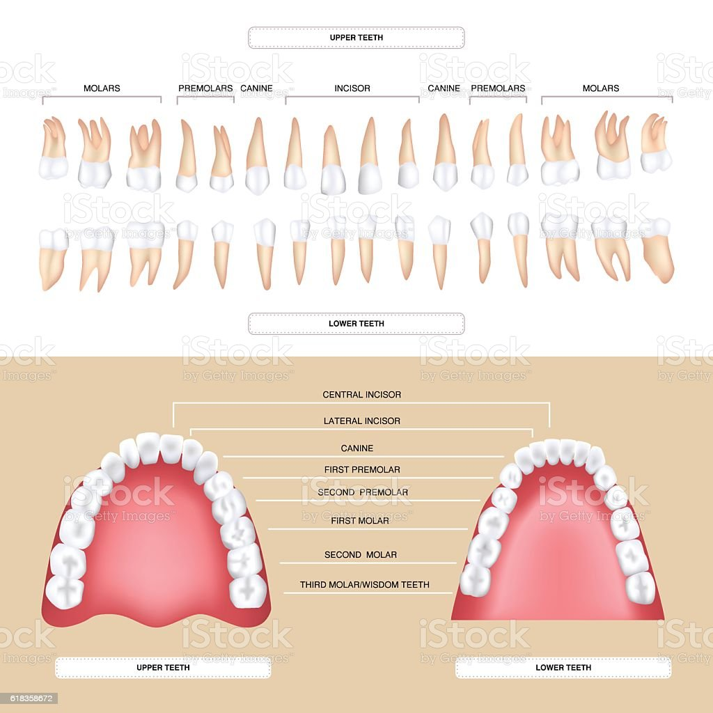 Human Dental Anatomy Permanent Tooth Stock Vector Art More Images