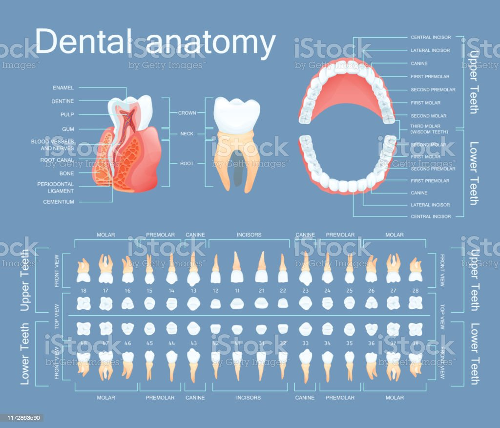 Human dental anatomy. Tooth anatomy numbering infographics. Sectional...